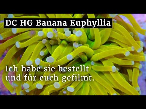 Dreamcorals Holy Grail Banana - die teuerste Euphyllia? Ich habe sie bestellt und für euch gefilmt.