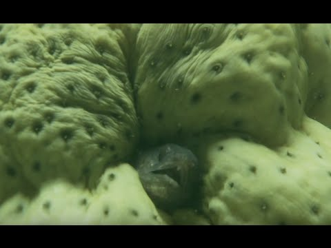 Living up a bum - The Sea Cucumber and Pearl Fish